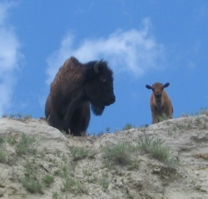 Bison crop
